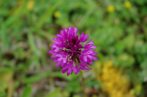 20110625-06_Pyramidal Orchid - Ryton Pools by gary.hadden