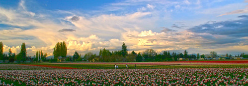 Tulips with a magnificient sky...Skagit Valley, Washington by i8seattle