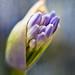 Agapanthus bud and texture