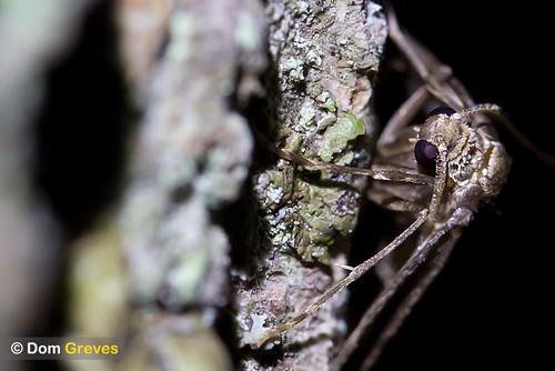 Male winter moth