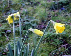 Early daffs