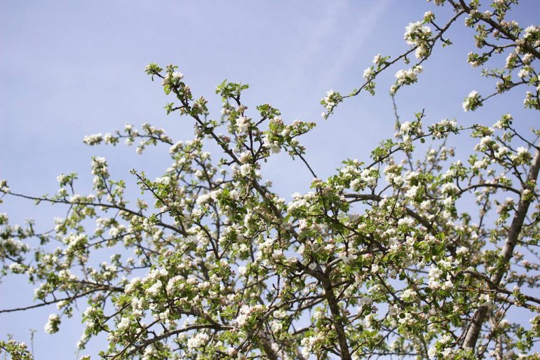 Äppelträd i blom