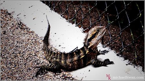 Wild lizard on the pathway