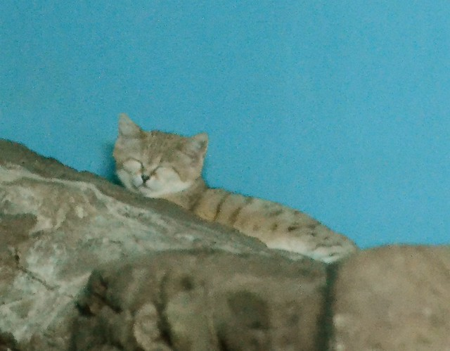 Sleepy Sand Cat