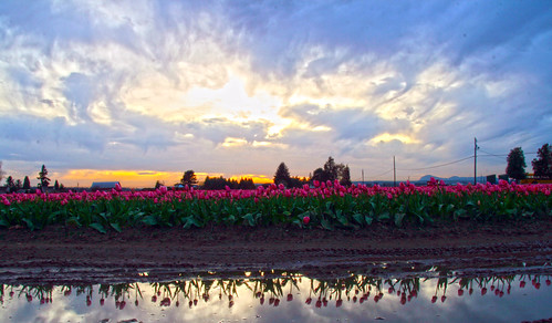 Skagit Valley Tulips at sunset  by i8seattle