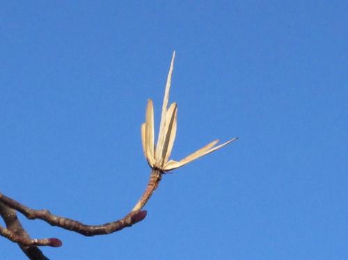 Tulip tree samaras