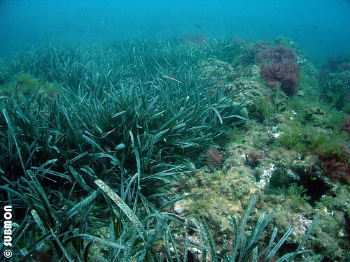 Pradera de Posidonia oceanica
