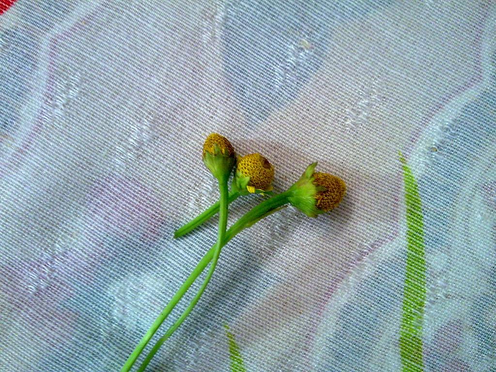 restos da flor do jambu