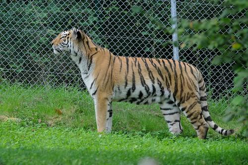Sibrischer Tiger Argun im Zoo de Trégomeur