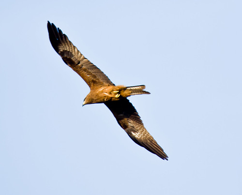 Black Kite by Saad Faruque