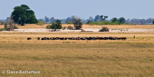 Namibian Cattle