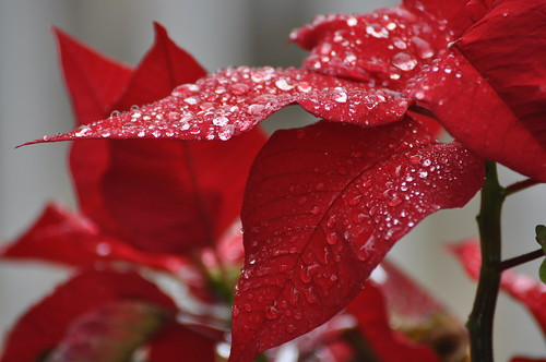 Rain Drops on Pointsettia