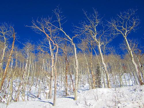Bosque de Aspen en Invierno