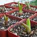 Mitrophyllum dissitum and Frithia pulchra