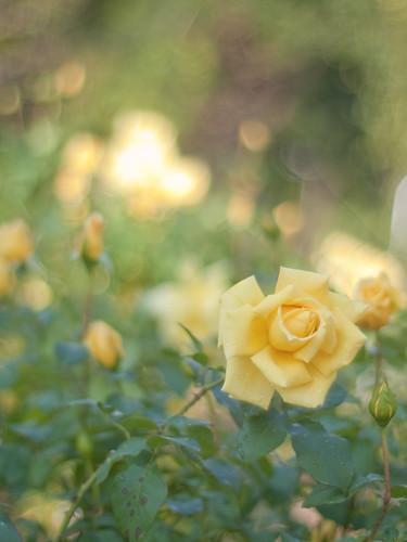 """Rose """" Inano """" by Polotaro"""