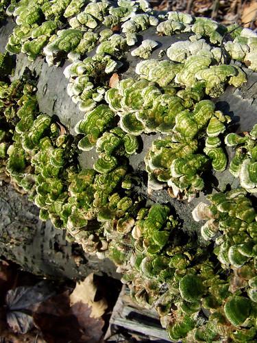 green birch polypores