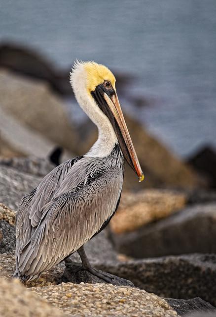 Posing Pelican Pano
