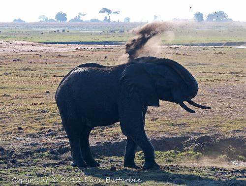 Elephant dusting