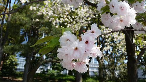 ภาพนี้ถ่ายด้วย Samsung Galaxy S5 ที่สวน Imperial กรุงโตเกียว ประเทศญี่ปุ่น