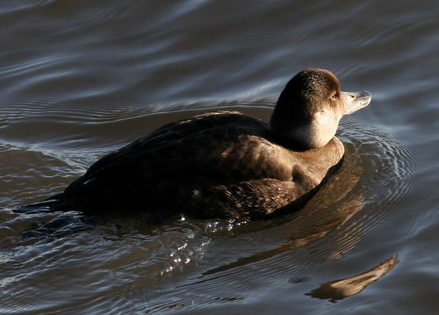 Female Common Scoter photographed by Hilary Chambers