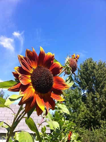 Sunflowers Reaching 09-08-11