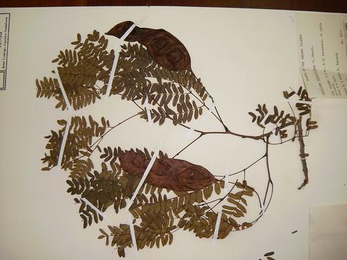 Lysiloma latisiliqua