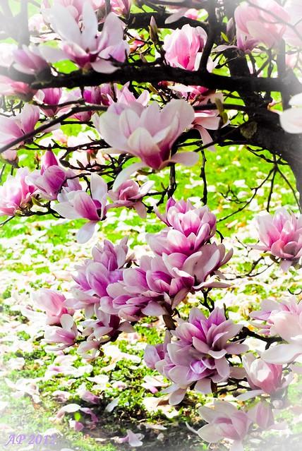 Floraison / Blossoming