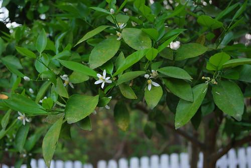 tang tree
