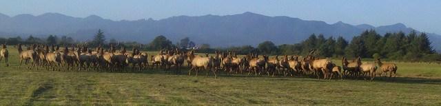 herd of elk in tillamook