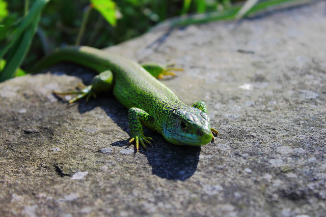 Lagarto verde #photography #photo #foto #flickr ,   DPP_0030