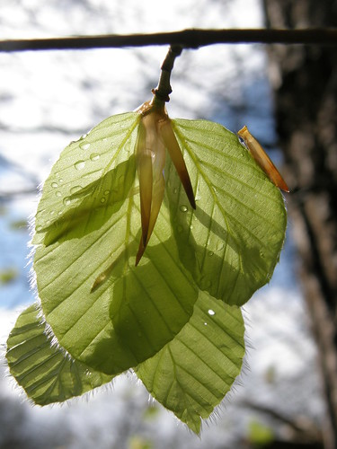 More birch leaves