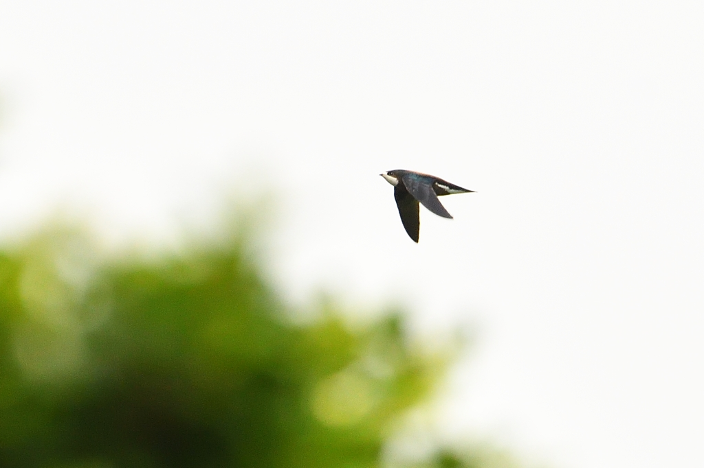 White-throated Needdletail [ 白喉針尾雨燕] - Swifts & Swallows 燕與雨燕 - HKBWS Forum 香港觀鳥會討論區 - Powered by Discuz!