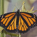 Monarch Adult, day one, Pumping wings