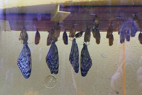 buterflyhatchery
