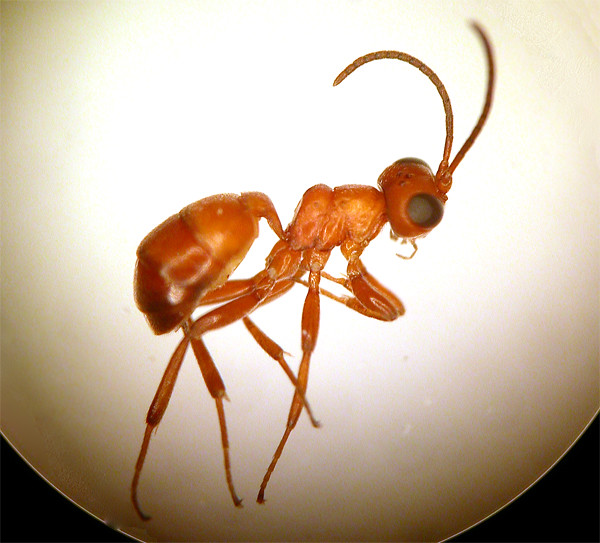 Gelis sp., a wingless female parasitoid (Ichneumonidae)