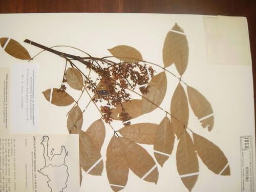 Lonchocarpus domingensis