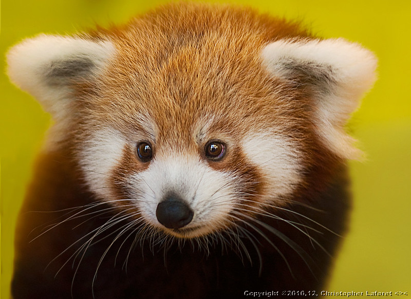 """Why Hello y'all...again!"" - Red Panda Cubs by Chris Laforet"