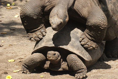Just 70 individuals of this species of Giant tortoise were rescued by helicopter when the Sierra Negra volcano erupted in 2005. Now, they're mating in captivity on the island to bolster numbers. Photo by Ben Tavener.