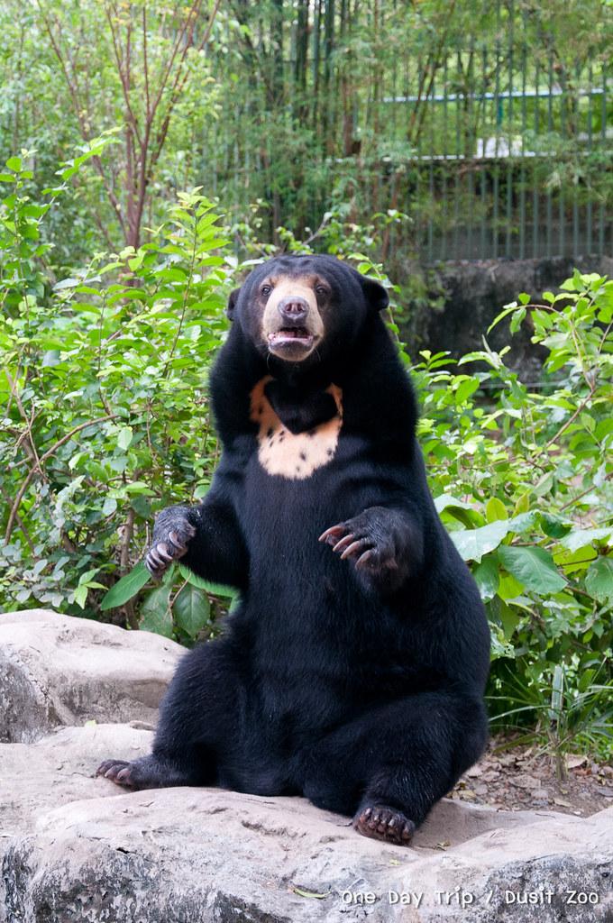 Dusit zoo - หมีควาย