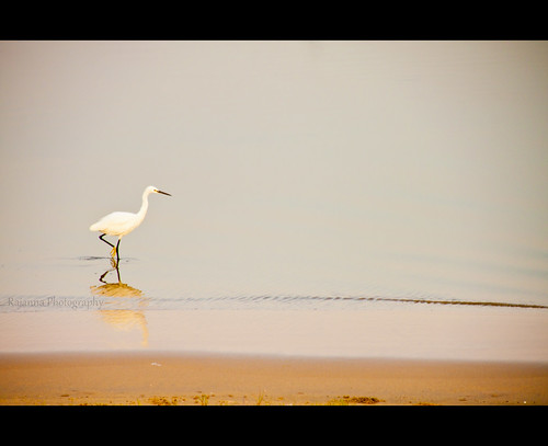 Egret by Varnajaalam @ Rajanna