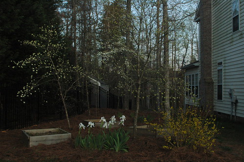 Early blooming white Iris, Dogwoods and Forsythia