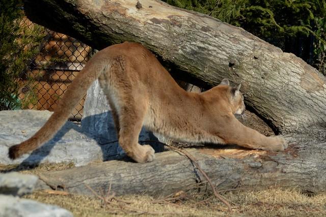 Stretching Cougar!