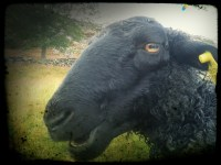 The wool of a black sheep is just as warm from Flickr via Wylio