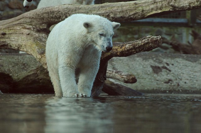 Eisbärin Sesi im Ouwehands Dierenpark in Rhenen
