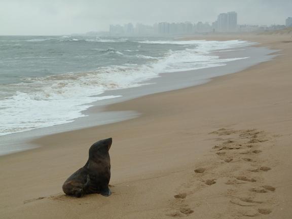 sea lion punta