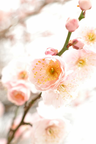 儚さ - Plum (Ume) blossoms