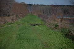 Large Gator across the Road