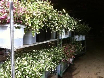 Snowberries wholesale cut flowers