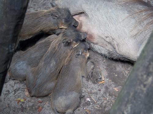 warthog babies!