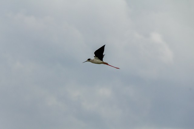 Black-winged Stilt flying